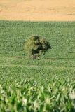 вал маиса поля солитарный Стоковое Фото
