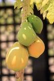 вал мангоа стоковое изображение