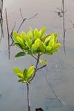 Вал мангровы Стоковые Фото