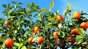 вал мандаринов Стоковые Фото