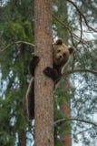 Вал медведя Brown взбираясь в пуще Стоковое фото RF