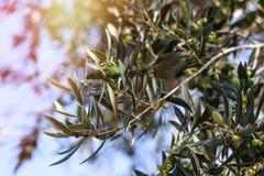 вал места молярной ночи el madrid прованский Оливки на ветви оливкового дерева Стоковые Изображения