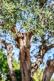 вал места молярной ночи el madrid прованский Оливки на ветви оливкового дерева Стоковая Фотография RF