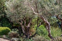 вал места молярной ночи el madrid прованский Оливки на ветви оливкового дерева Стоковое Фото