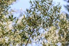 вал места молярной ночи el madrid прованский Оливки на ветви оливкового дерева Стоковые Фотографии RF
