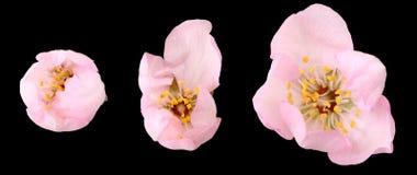 вал миндалины изолированный цветком Стоковая Фотография RF