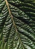 вал мушмулы листьев Стоковое Фото
