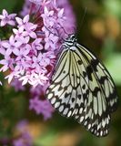 вал нимфы бабочки стоковые фото