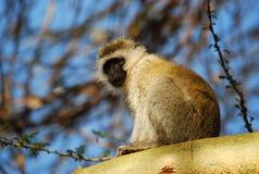 вал обезьяны Стоковая Фотография