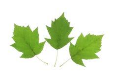 Вал одичалого обслуживания (torminalis Sorbus) Стоковое Изображение