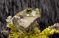 вал павлина лягушки Стоковая Фотография RF