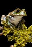 вал павлина лягушки Стоковое Фото