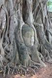 вал песчаника Будды баньяна головной перерастанный Стоковое фото RF