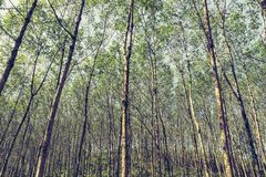 вал плантации резиновый Стоковое Фото