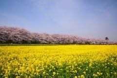 вал рапса вишни цветений Стоковое Изображение