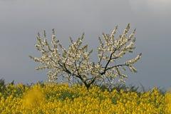 вал рапса Германии поля вишни Стоковые Изображения