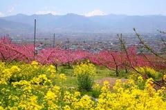 вал рапса персика цветений Стоковое Изображение RF