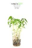 вал ростков фасоли Стоковая Фотография RF