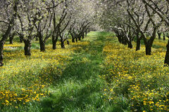вал сада вишни Стоковые Изображения