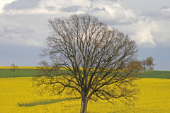 вал Саксонии рапса Германии поля более низкий Стоковое Изображение RF