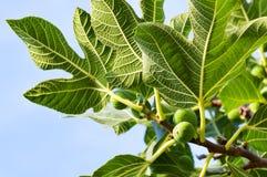 вал смоквы зеленый Стоковые Фотографии RF