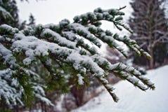 вал снежка ели ветви Стоковые Изображения