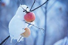 вал снежка яблок Стоковое фото RF