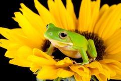 вал солнцецвета лягушки Стоковое Фото