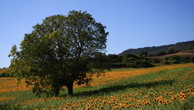 вал солнцецветов Стоковое Изображение RF