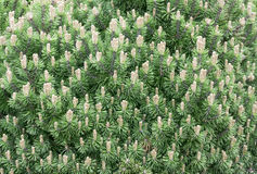 вал сосенки горы Стоковое фото RF