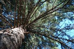 вал сосенки сени Стоковая Фотография RF