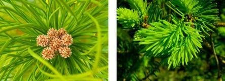 вал сосенки Стоковая Фотография RF