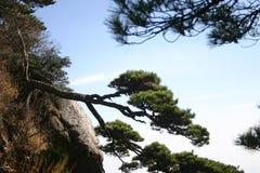 Вал сосенки Shrub или горы Стоковое фото RF