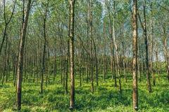 вал Таиланда плантации резиновый стоковые фотографии rf