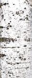 вал текстуры березы расшивы Стоковая Фотография RF