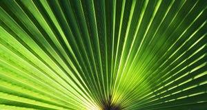 вал текстуры ладони листьев предпосылки Стоковое Изображение RF