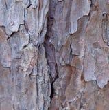вал текстуры тополя расшивы старый стоковое фото