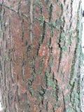 вал текстуры тополя расшивы старый стоковая фотография