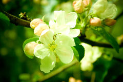вал цветения яблока Стоковое Изображение