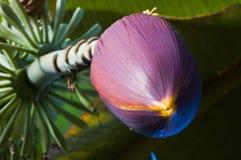 вал цветеня банана Стоковое Изображение RF