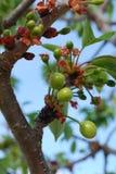 вал цветка вишни Стоковое фото RF