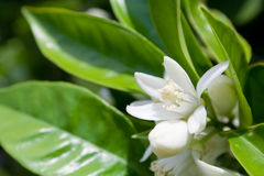вал цветка померанцовый стоковые фото