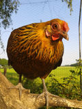 вал цыпленка Стоковые Фотографии RF