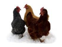 вал цыплят Стоковые Изображения RF