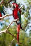 вал ый macaw красный стоковые фото