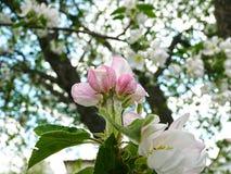 вал яблока зацветая Стоковое Изображение RF