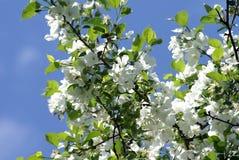 вал яблока blossoming Стоковое Изображение RF