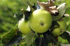 вал яблок зеленый Стоковая Фотография