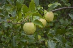 вал яблок зеленый Стоковое Изображение