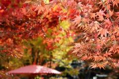 вал японского клена Стоковые Изображения